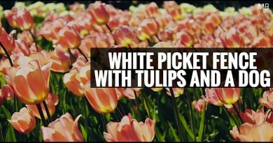 White Picket Fence with Tulips and a Dog